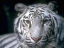 Fond d'�cran Tigre blanc � t�l�charger gratuitement
