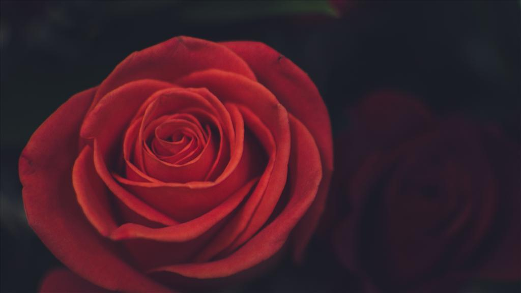 Fond D Ecran Rose