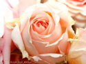 Fond d'�cran Rose pour maman � t�l�charger gratuitement
