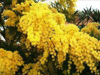 fond d'ecran gratuit mimosa