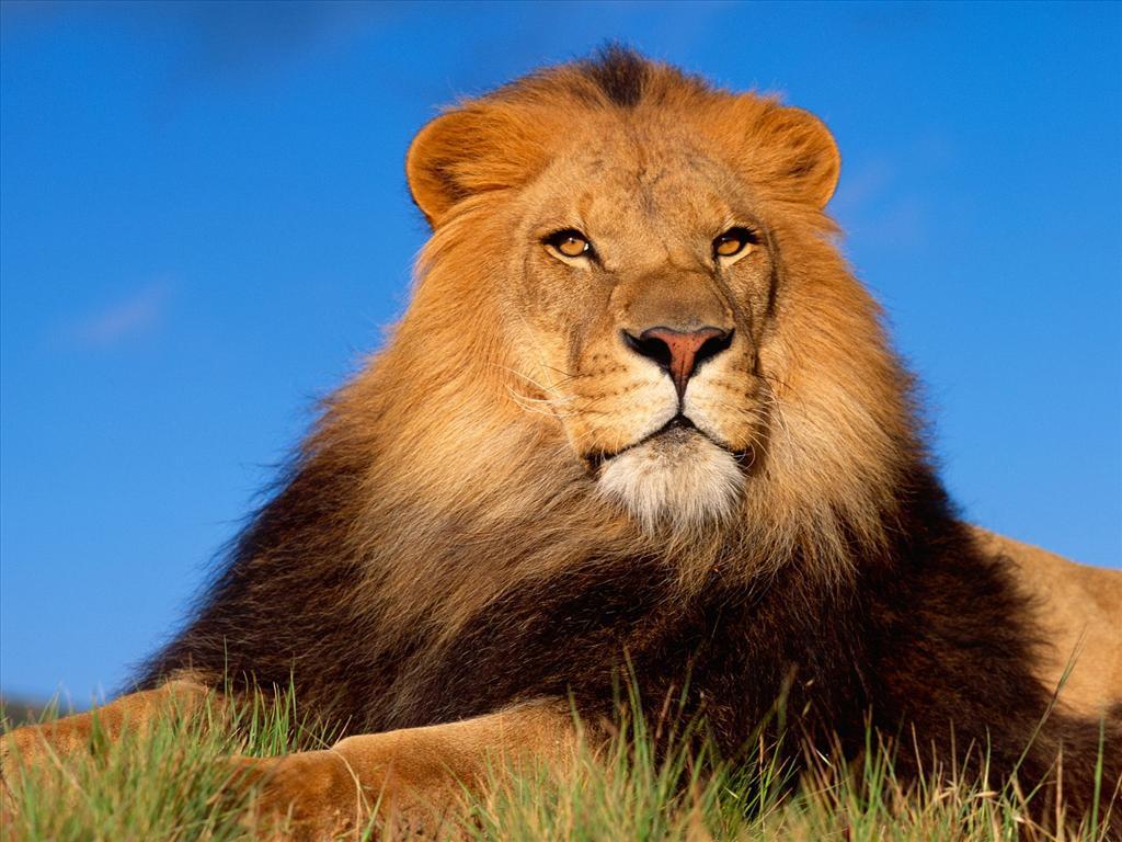 Fond d 39 cran le roi de la savane - Felin de la savane ...