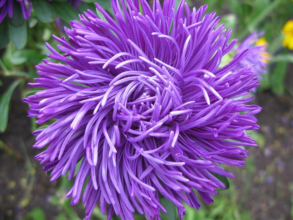 Fond d 39 cran fleur violette - Image fleur violette ...