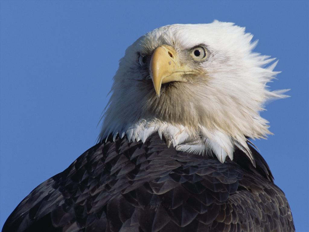Fond d 39 cran aigle royal - Comment dessiner un aigle royal ...