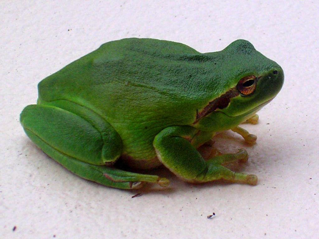 Fond d 39 cran grenouille verte - Dessin de grenouille verte ...