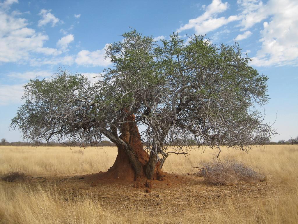 Fond d 39 cran arbre dans la savane - Felin de la savane ...