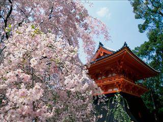 Arbre de Sakura 5188