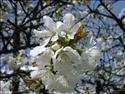 Fond d'écran Fleurs de cerisier à télécharger gratuitement