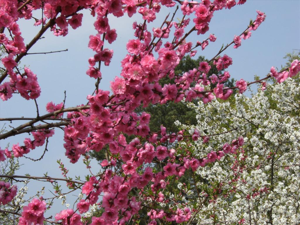 Fond d 39 cran p cher et cerisier en fleurs - Catalogue de fleurs gratuit ...