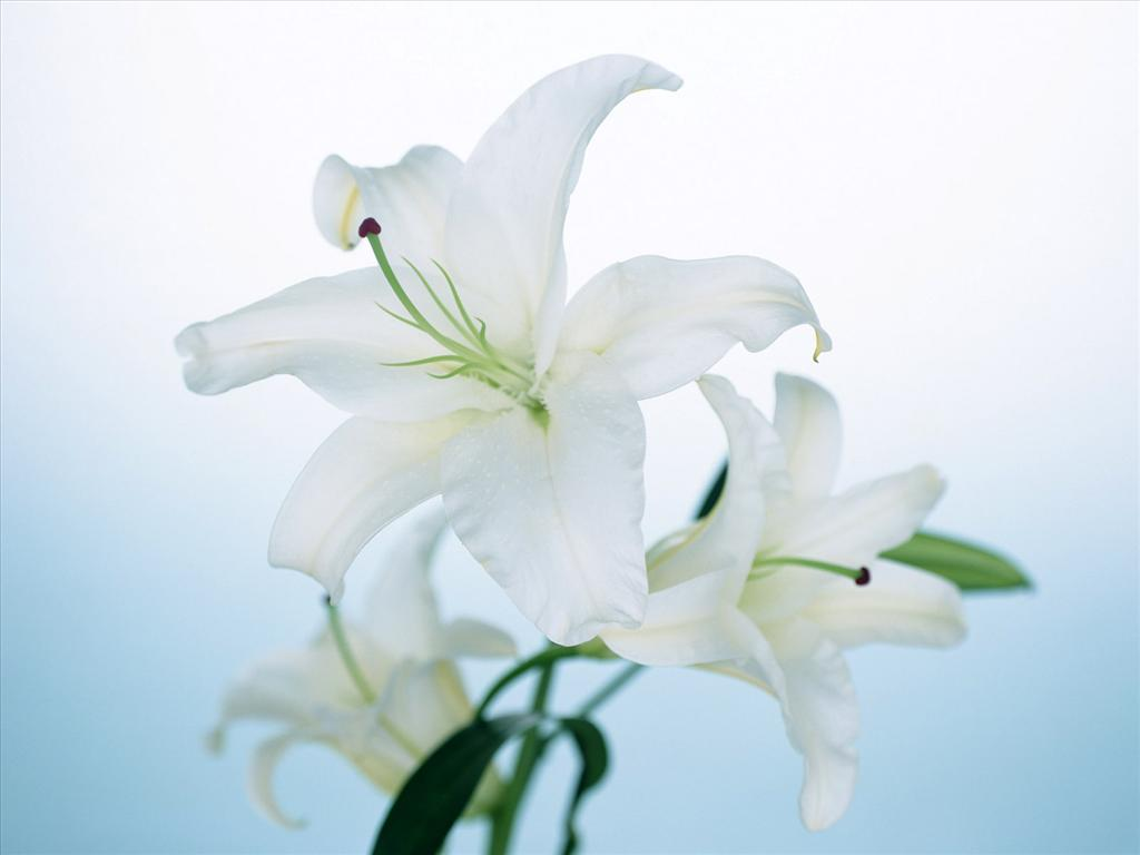 Photo Fleur De Lys Blanc Photo De Fleur Une Pensee Fleuriste