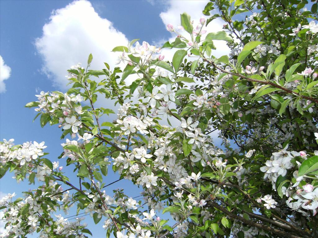 Fond d 39 cran pommier golden fleuri - L arbre le pommier ...