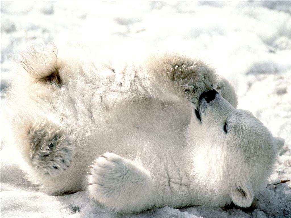 Fond d'écran Bébé ours polaire