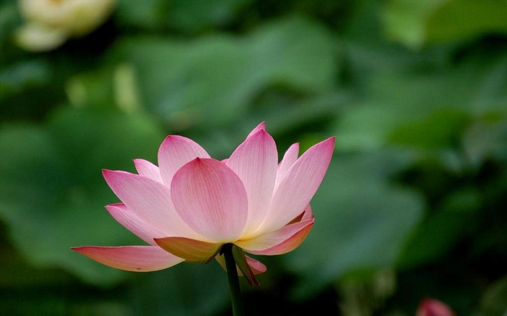 Fond D Ecran Fleur De Lotus Telechargement Gratuit