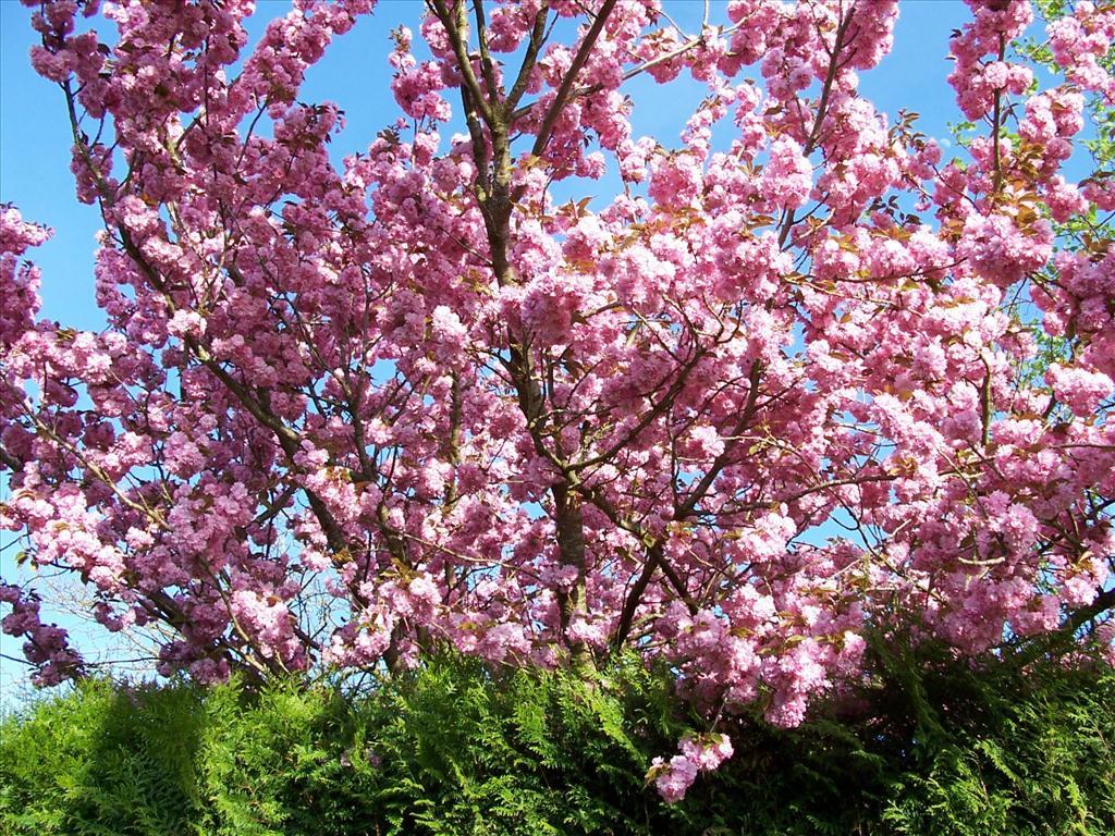 Fond D Ecran Cerisier Du Japon