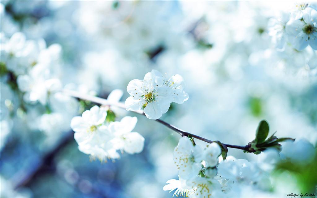 Fleurs De Cerisier Rouge Fond D Ecran Telechargements Unidhorwa Cf