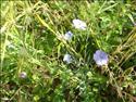 Fond d'écran Fleurs bleues à télécharger gratuitement