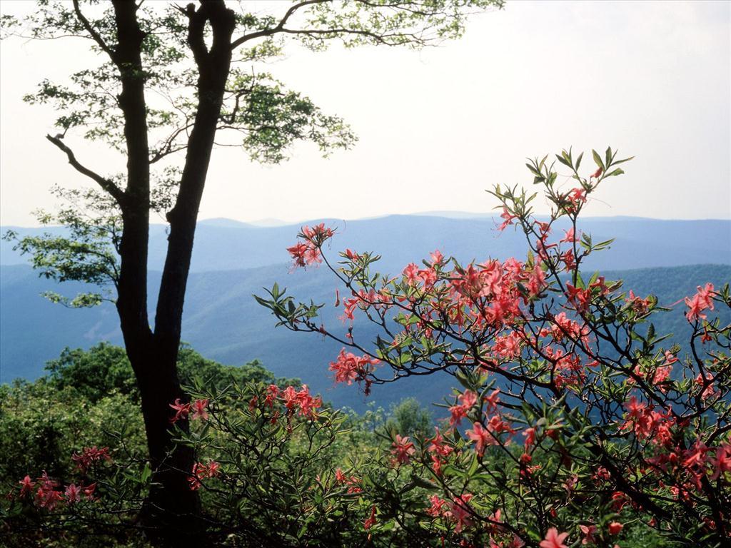 Fond d 39 cran printemps dans la montagne - Greffe du cerisier au printemps ...
