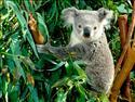Fond d'écran Koala à télécharger gratuitement