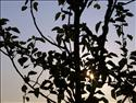 Fond d'�cran Lever de soleil � travers l'arbre � t�l�charger gratuitement