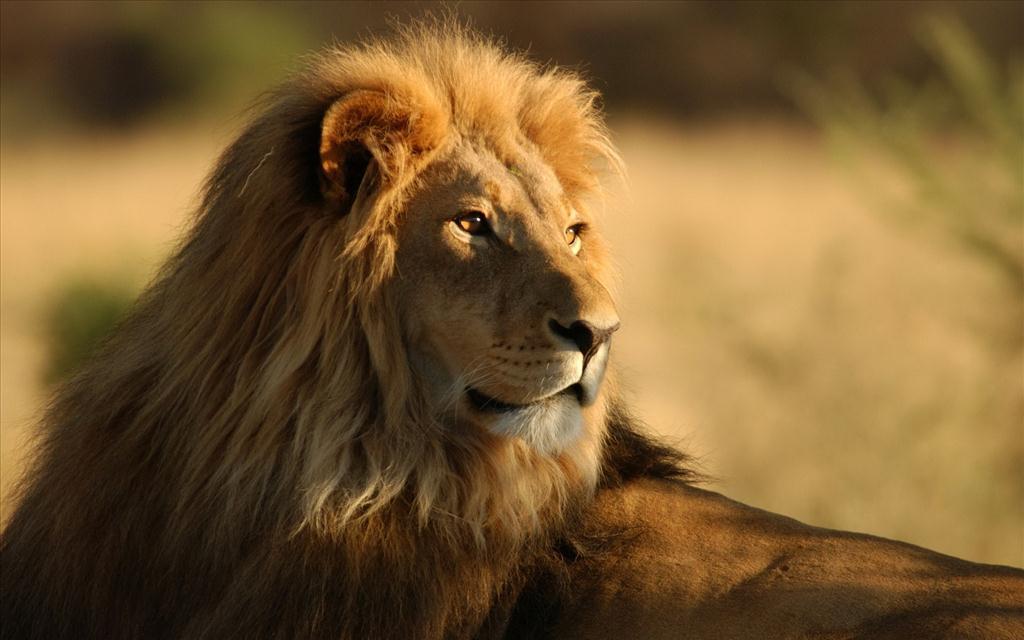 Extrêmement Fond d'écran Lion IC17