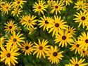 Fond d'écran Marguerites jaunes à coeur noir à télécharger gratuitement