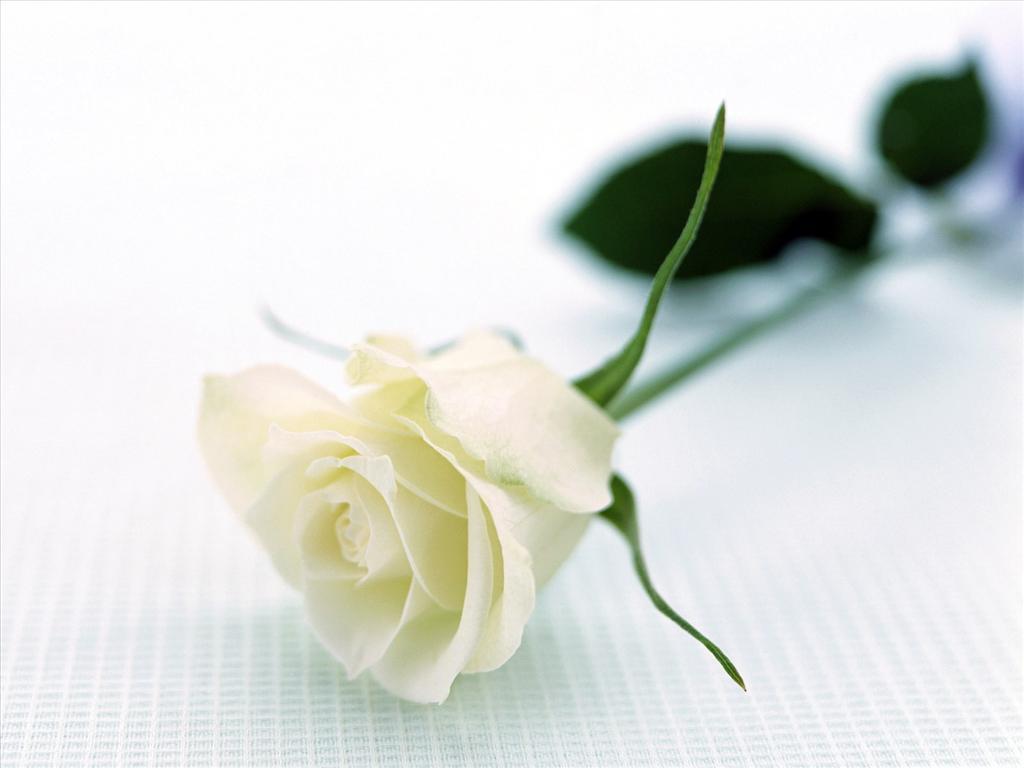 Fond D Ecran Rose Blanche